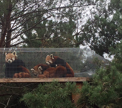 Pandaer i Københavns Zoo
